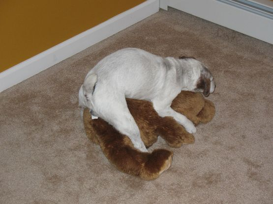 Image result for dogs humping teddy