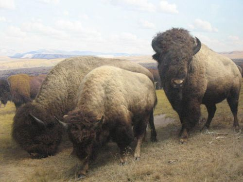 ♫ 3 Buffalo Gals go round the outside ♪